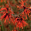 Personalised Gift Hamamelis Diane