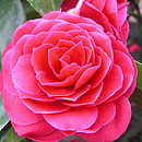 Plant Gift Stunning Red Camellia
