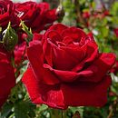 Rose Gifts Rose I Love You