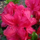 Mothers Day Gift Azalea Mothers Day