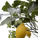 Lemon Tree Gift close