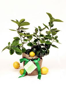 Citrus Trees - fresh flowers