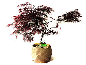 Japanese Maple - outdoor decorations