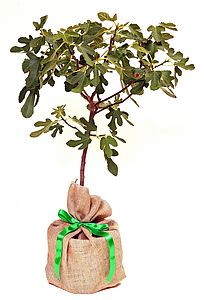 Fig tree- Ficus carica - outdoor decorations