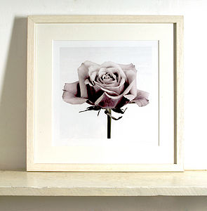 Old Pink Rose Fine Art Print - In Three Sizes