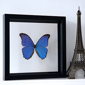 Framed Butterfly Morpho Didius - decorative accessories