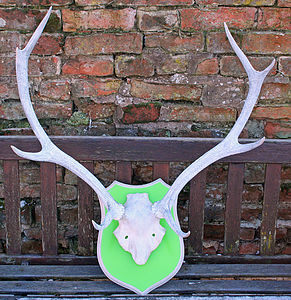Limed And Mounted Scottish Red Deer Antlers