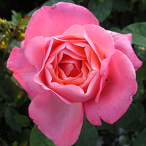 Pink Fragrant Rose Gift