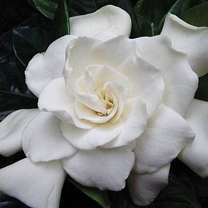 Scented Outdoor Gardenia Plant - 30th anniversary: pearl