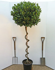 Large Spiral Bay Tree - gardening