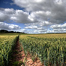 wheat used for wheat sheaves being grown in our Shropshire Fields