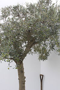 Mature Olive Tree - garden & outdoors