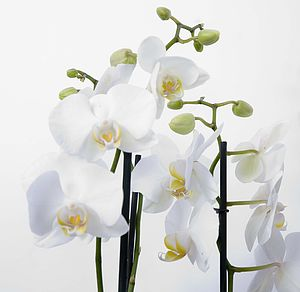 White Orchid Living Plant Gift - fresh flowers