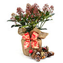 Easter Scented Plant Gift Skimmia Rubella