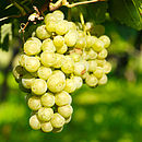 Grow Your Own Green Grape Vine