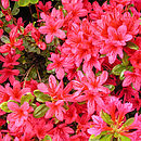 Plant Gifts Evergreen Azalea