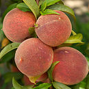 Fruity Gifts Patio Peach Tree