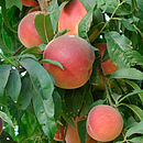 Fruity Gift Patio Nectarine Tree
