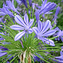Christmas Blue African Lily Agapanthus Plant Gift