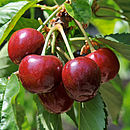 Fruity Plant Gifts Dwarf Patio Cherry Tree