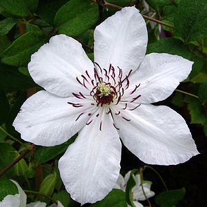 Wedding Present Gift Idea Clematis Wedding Day