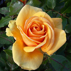 Rose Garden Gifts Rose Simply The Best - gardening