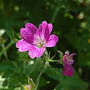 Geranium at Great Elm