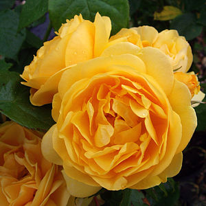 Scented Rose Rose Absolutely Fabulous