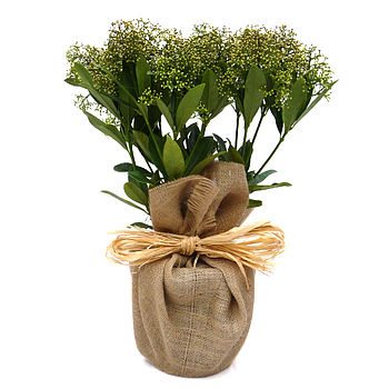 Scented Skimmia Plant Gift