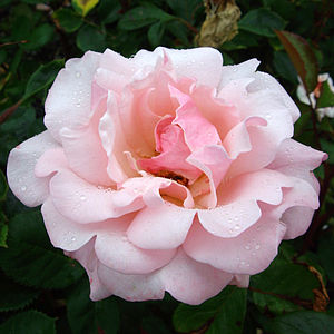Garden Plant Rose Valentine Heart - gifts for her