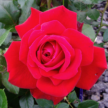 Red Scented Garden Rose