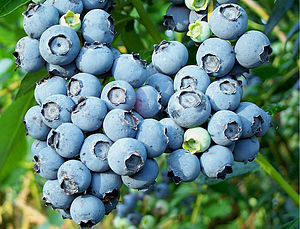 Blueberry Plant Garden Fruit Gift