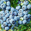 Christmas Fruit Gifts Blueberry Plant