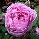 Famous Named Plant Gifts Rose Raymond Blanc