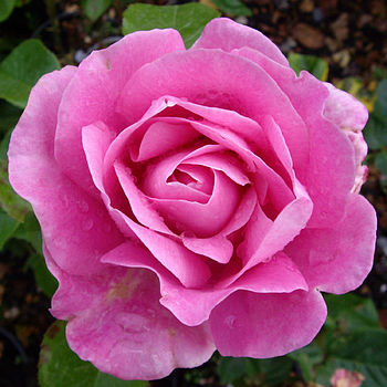 Plant Gifts Scented Pink Garden Rose