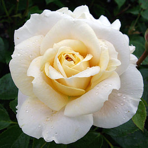 Scented Rose Gift Rose Champagne Moment