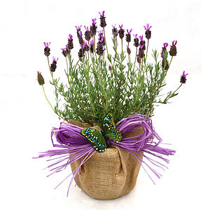Plant Gifts French Aromatic Lavender - flowers, plants & vases