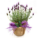 Easter Plant Gift French Aromatic Lavender