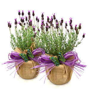 Easter Plant Gift Pair Of French Lavenders