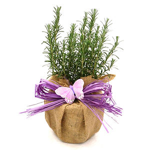 Scented Aromatic Rosemary Plant Gift - plants