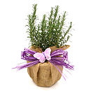 Christmas Gift Scented Rosemary Bush