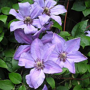 Anniversary Plant Gifts Clematis Happy Anniversary