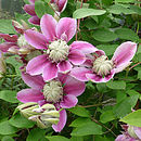 Plant Gifts Clematis Josephine