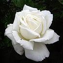 ROSE SILVER ANNIVERSARY