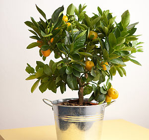 Citrus Orange Tree - flowers, plants & trees