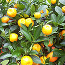 Citrus Orange Tree