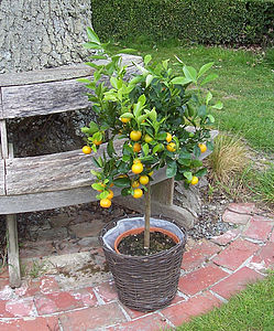 4ft Citrus Orange Tree