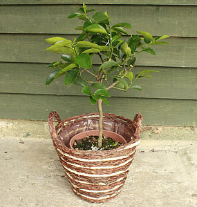 3ft Lime Tree