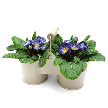 Primula Planter In A Vintage Container