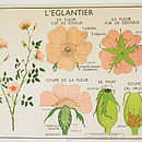 Vintage French Wild Rose And Pea Plant Chart